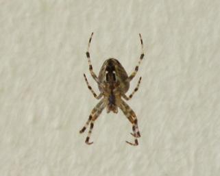 Was ist das für eine Spinne auf meinen Balkon?
