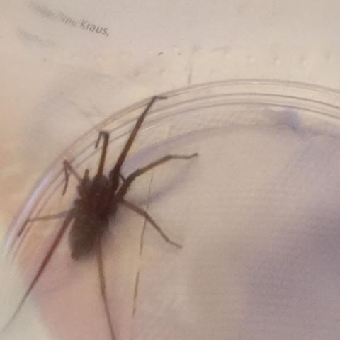Was ist das für eine spinne, hab sie in der dusche gefunden( nicht giftig oder?