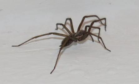 was ist das f r eine spinne hilfe im wohnzimmer angst spinnen gef hrlich. Black Bedroom Furniture Sets. Home Design Ideas