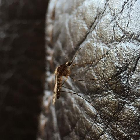 Sehe solch eine Mücke jz zum 2. mal bei uns  - (stechmücken)