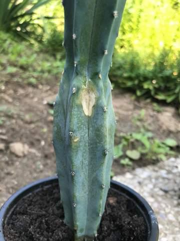 Was ist das für eine Stelle an meinem Kaktus?
