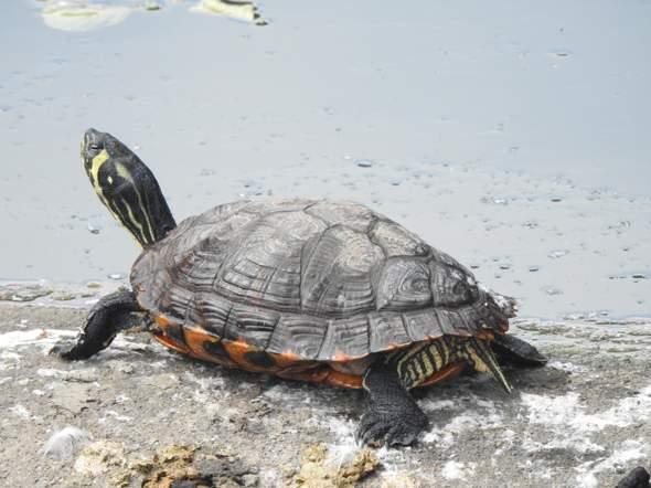 Was ist das für eine Süßwasserschildkröte, ich habe sie am 11.6.2020 am Obersee in Bielefeld fotographiert (bitte auch den wissenschaftlichen Namen dazu)?