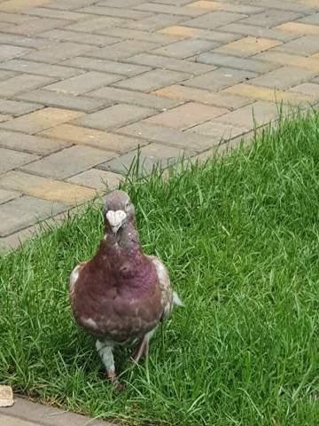 Was ist das für eine Tauben- bzw. Vogelart?