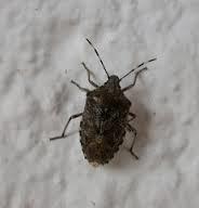 was ist das f r eine wanzenart insekten wanze. Black Bedroom Furniture Sets. Home Design Ideas