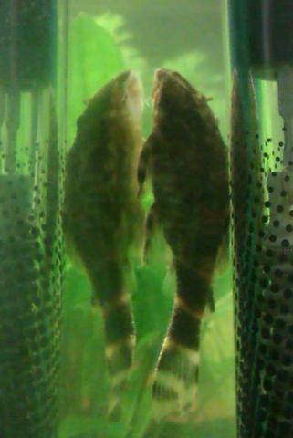 Das is der wels, etwas unscharf aber sonst hätt ich nich reinstellen können..... - (Fische, Aquarium, Aquaristik)