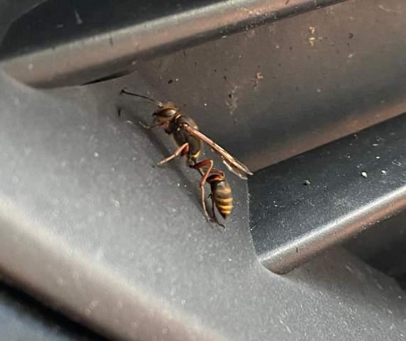 Was ist das für eine wespe?