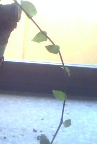 Was ist das für eine Zimmerpflanze? (Hängepflanze, 1 cm große, glatte, grüne Blätter)