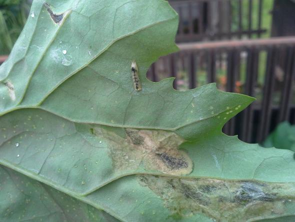 Die Marde auf der Unterseite - (Pflanzen, Ungeziefer, Schädlinge)