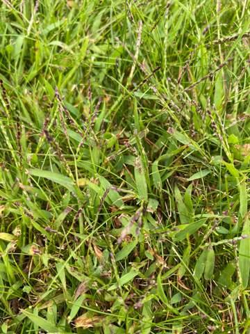 Was ist das für Unkraut auf dem Rasen und wie werde ich es los?