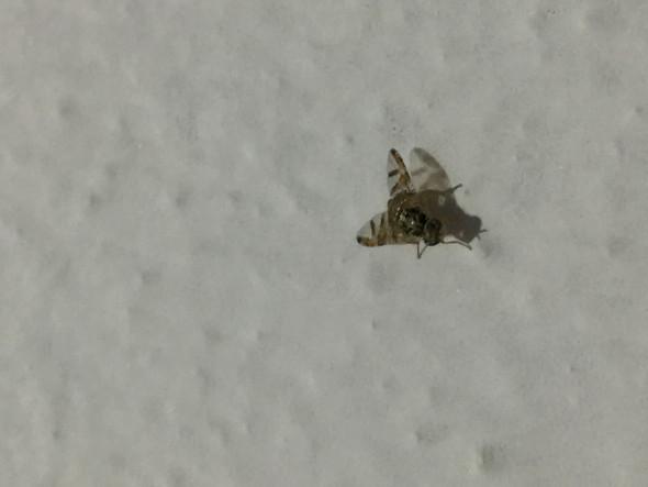 .. - (Insekten, Art, Fliege)