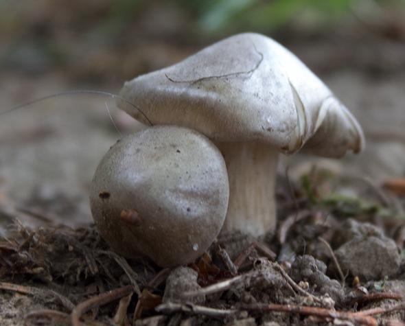 was ist das hier für ein pilz (heute im garten gefunden unterm Kirschbaum)?