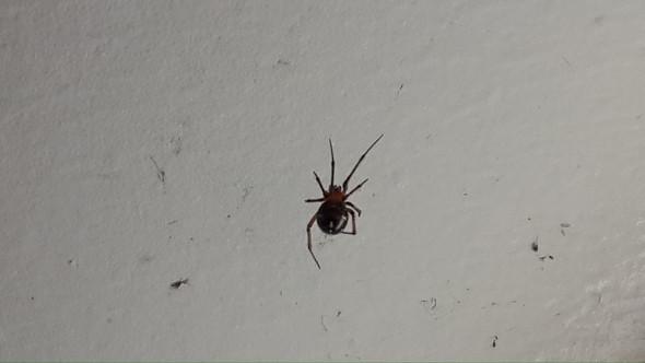 mit Beinen ca. 1 oder 2cm groß - (Australien, Spinnen)