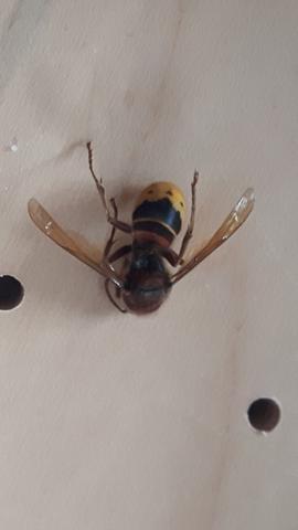 Insekt - (Insekten, Bienen, Wespen)