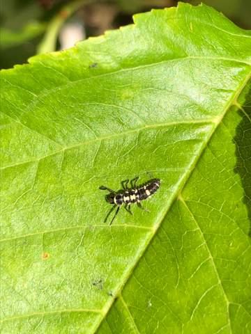 Was ist das, Marienkäfer-larve?
