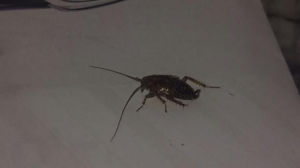 was ist das sch dling k fer ect insekten kaefer sch dlinge. Black Bedroom Furniture Sets. Home Design Ideas