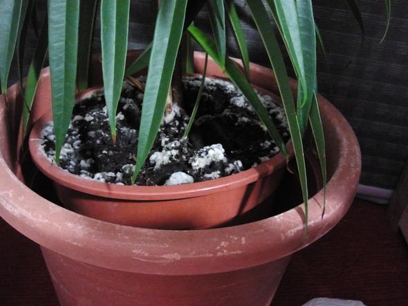 was ist das wei e am mutterboden meiner zimmerpflanze gesundheit pflanzen schimmel. Black Bedroom Furniture Sets. Home Design Ideas
