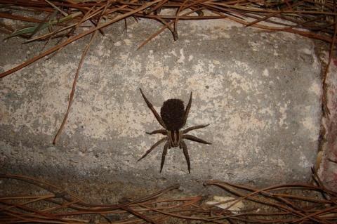 Die Spinne - (Spinnen, Spinne, giftig)