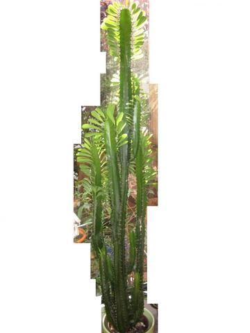 was ist denn dies f r ein kaktus wei jemand den namen. Black Bedroom Furniture Sets. Home Design Ideas