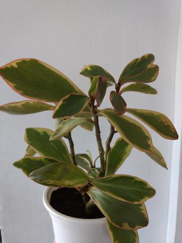 Was ist der lat. Name dieser Zimmerpflanze?