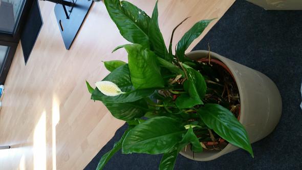 - (Pflanzen, Weiße Knospe)