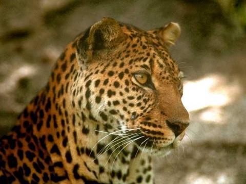 ...und das ein Leopard - nur wo liegt der Unterschied? - (Unterschied, Leopard, gepard)