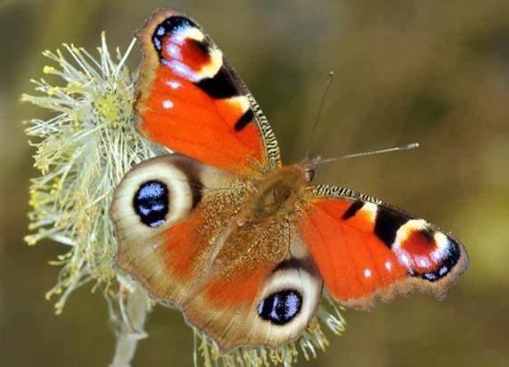 Was ist euer Lieblings-Schmetterling?