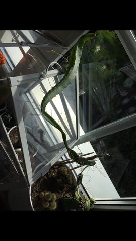 Kaktee  - (Pflanzen, Gärtner, kaktus)
