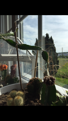 Kakteen - (Pflanzen, Gärtner, kaktus)