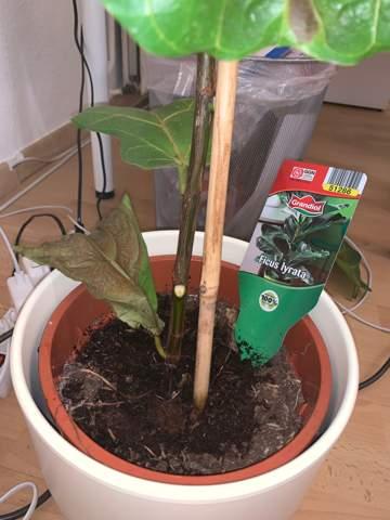 Was ist los mit meinem Ficus Iyrata (Geigen Feige)?