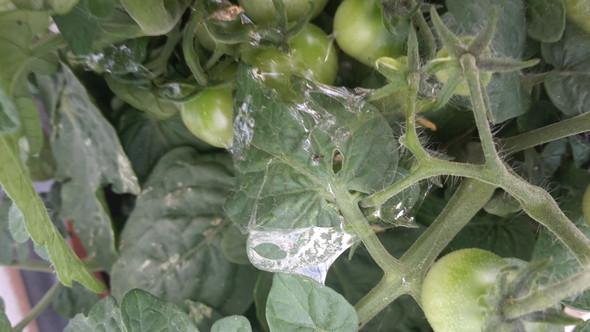 Bild - (Garten, Schädlinge, Tomaten)