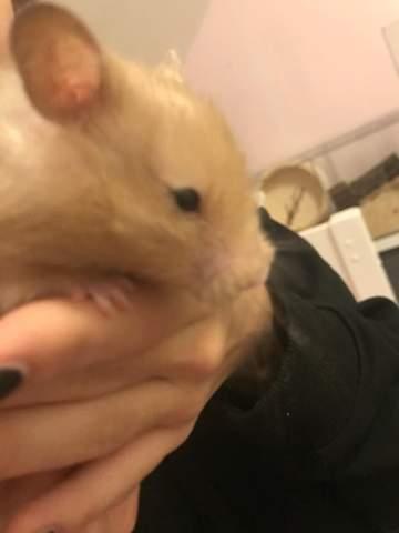 Was ist mit dem Auge meines Hamsters los?