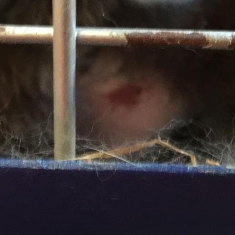 Dieser rote Karle felck da - (Kaninchen, Fellausfall)