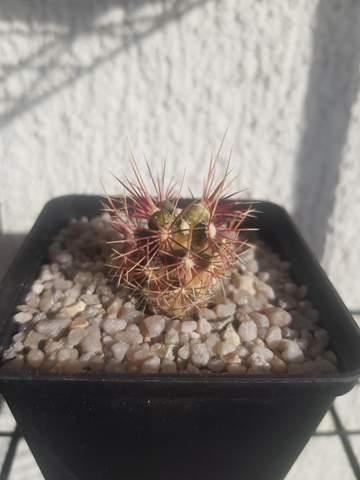 Was ist mit diesem Kaktus los?