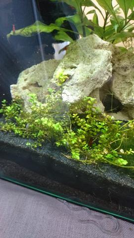 kleinere Pflanze, die Stängel/Blätter verliert - (Tiere, Aquarium, Aquaristik)