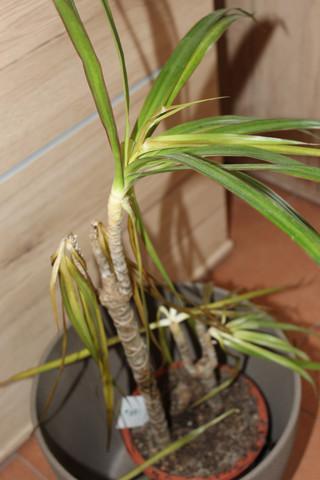 was ist mit meinem drachenbaum dracaena los pflanzen zimmerpflanzen g rtner. Black Bedroom Furniture Sets. Home Design Ideas
