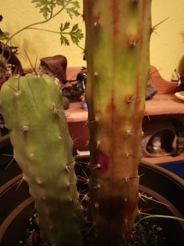 Was ist mit meinem Kaktus los und wie kann ich ihm helfen?