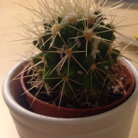 - (Pflanzen, kaktus)
