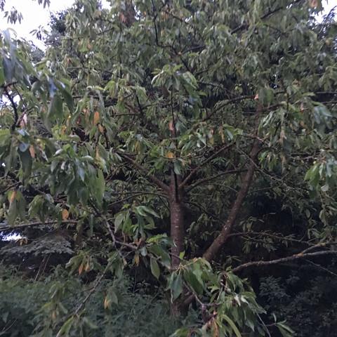 was ist mit meinem kirschbaum los er ist ganz welk garten baum obstbaum. Black Bedroom Furniture Sets. Home Design Ideas