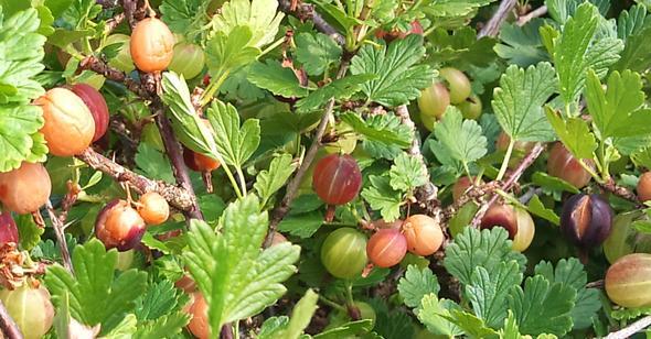 2. - (Garten, stachelbeeren, Beerenobst)