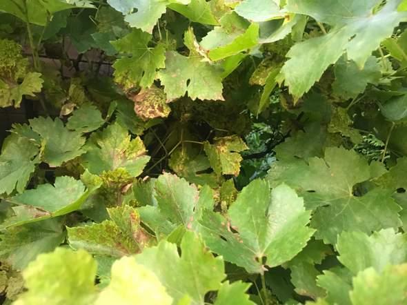 Was ist mit meiner Traubenpflanze los?