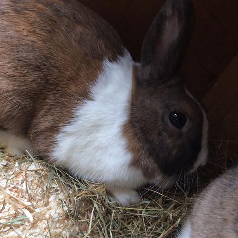 Das Kaninchen - (Kaninchen, weiß, braun)