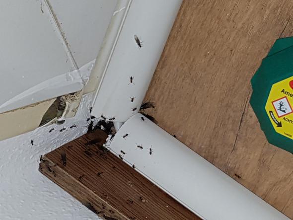 Was kann ich machen bei extremen Ameisen Befall der Wohnung ...