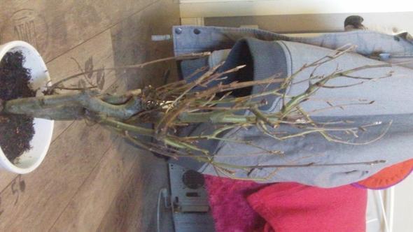Baum1 - (Bilder, Pflanzen, klein)