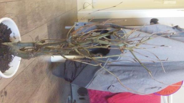 Baum2 - (Bilder, Pflanzen, klein)