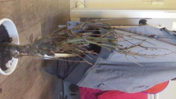 Baum3 - (Bilder, Pflanzen, klein)