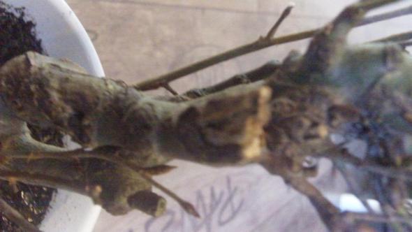 Baum6 - (Bilder, Pflanzen, klein)