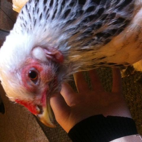 Huhn 1, normal - (Tierarzt, Hühner, stinken)
