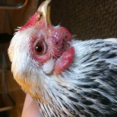 Huhn 1, angeschwollene Stellen - (Tierarzt, Hühner, stinken)