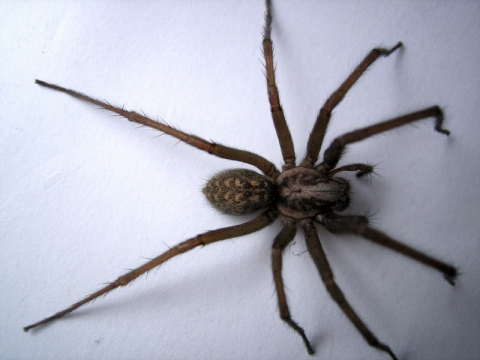 Was kann man gegen hausspinnen im zimmer tun nacht spinnen - Was tun gegen fruchtfliegen im zimmer ...