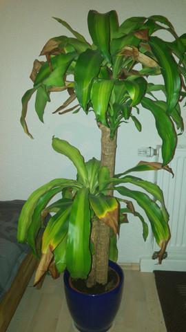 mein Drachenbaum - (Pflanzen, Baum, Gewächs)
